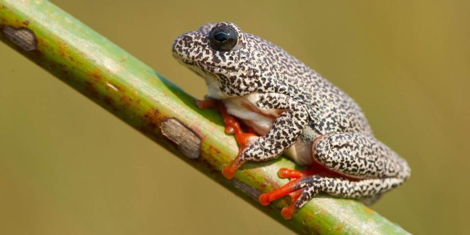 Exotic frog on reeds near Xigera luxury safari camp