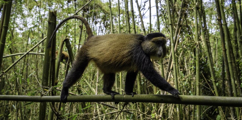 Bisate Golden Monkey