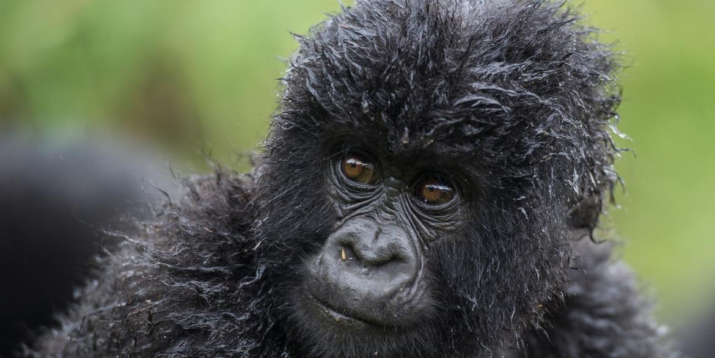 Bisate Gorilla
