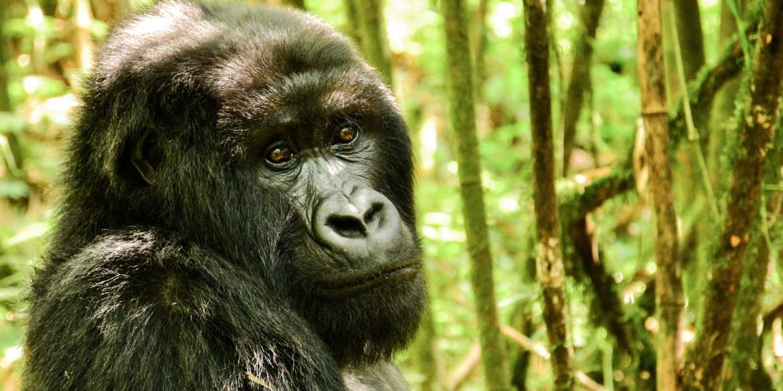 Sabyinyo Gorilla