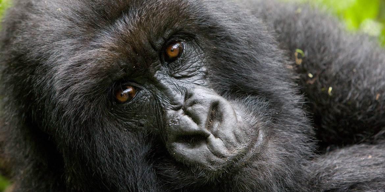 Sabyinyo Gorilla 2