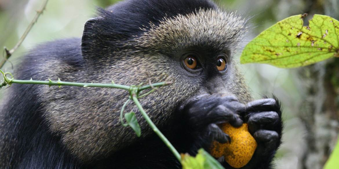 Virunga Golden Monkey