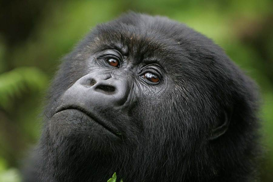 virunga-lodge-gorilla.jpg