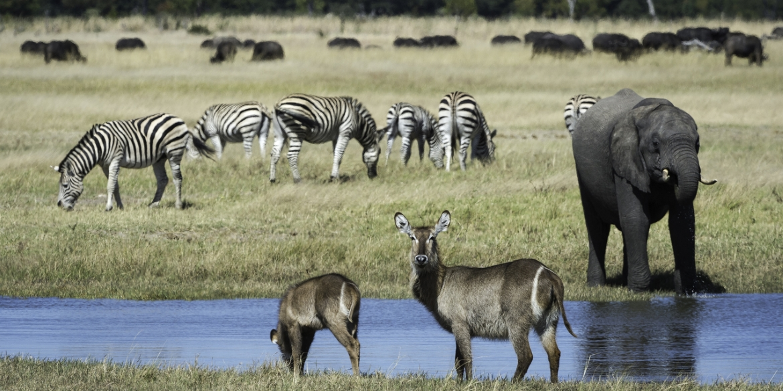 Linkwasha Zebra