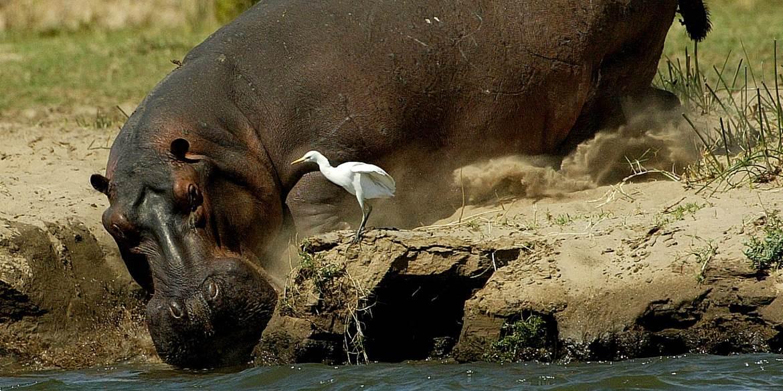 Ruckomechi Hippo